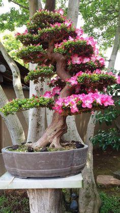 nBonsai Museum, ranked on TripAdvisor among 64 attractions in Edogawa. Bonsai Fruit Tree, Flowering Bonsai Tree, Bougainvillea Bonsai, Bonsai Tree Types, Indoor Bonsai Tree, Bonsai Plants, Bonsai Garden, Garden Plants, Plantas Bonsai