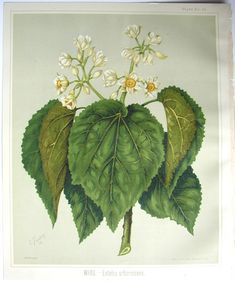 Sarah Featon, Whau - Sara FEATON  Hand-coloured engravings from The Art Album of New Zealand Flora, 1889. It contained descriptions of the native flowering plants of New Zealand and the adjacent islands.