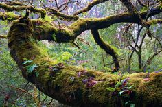 Mossy trees with ferns . how beautiful this old tree's skirt of ferns. Old Trees, Unique Trees, Nature Animals, How Beautiful, Mother Earth, Wild Flowers, Orchids, Islands, Witch