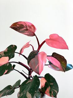 Ficus, Pink Leaf Plant, Calathea Plant, Wholesale Plants, Rose Pastel, Plant Aesthetic, Variegated Plants, House Plant Care, Pink Leaves