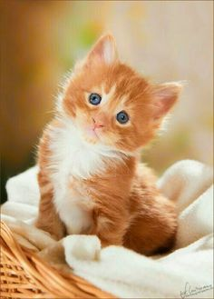 it) submitted by Margaret_Poston to /r/kitty 0 comments original - - Cute Kittens - LOL Memes - in Clothes - Kitty Breeds - Sweet Animal Pictures Kittens And Puppies, Cute Cats And Kittens, I Love Cats, Kittens Cutest, Pretty Cats, Beautiful Cats, Animals Beautiful, Pretty Kitty, Cute Baby Animals