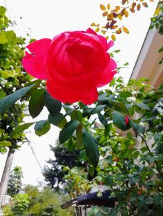 """""""Él se enamoró de sus flores y no de sus raíces, y en otoño no supo qué hacer"""" - Petit Prince.  #rose #rosa #principito #petitprince #natural #nofilter #sinfiltro Natural, Plants, Pink, The Little Prince, Thinking About You, Flowers, Il Piccolo Principe, Colors, Life"""