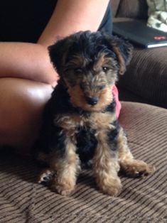 Lily at 2 months old. Welsh Terrier or teddy bear?