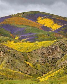 "jeffsullivan: ""Wildflowers Friday in the Temblor Range, Carrizo Plain National Monument. #followthebloom #blm #carrizoplain #california """