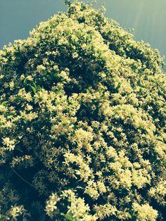 Gelsomino in fiore sul naviglio a Milano
