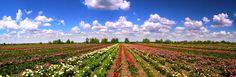 Rose fields, Szőreg
