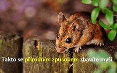 Odpuzení myší zvašehodomu může být skutečnou výzvou. Když je venku zima, myši chtějí zůstat v teple. To může znamenat, že se snaží dostat dovnitř vašeho obydlí. Dnes Vám chceme představit způsoby, jak udržet myši dál od Vaše domu bez použití nebezpečných chemikálií či jiných jedů. Chcete-li najít vstupní otvor, kterým se myši dostávají dovnitř, odborníci …