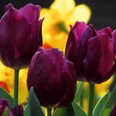 'Purple prince' tulip (treat as an annual)
