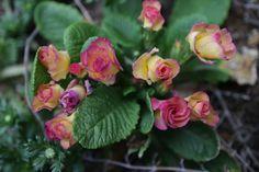 https://flic.kr/p/H9vcmw | primula julian bridal bell | in our garden.