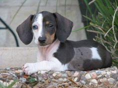 Dachshundsderive from Germany and are classified in the hound group. They were used for their ability to track scents and trail animals.Some Dachshunds c
