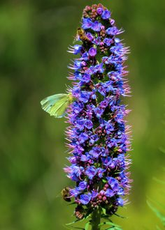 Echium is very attractive to bees and butterflies.