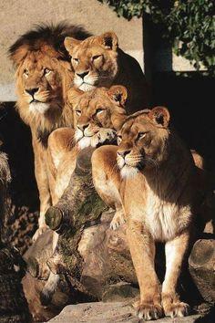 Big cats family! ......? #BigCatFamily