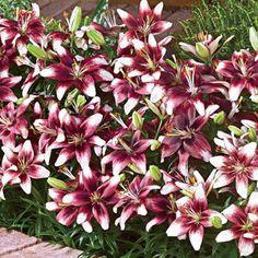 Dark Knight Carpet Lily