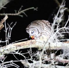 While I find this picture to be rather horrid :), I was quite fascinated by the owl in my front yard, watching him/her sitting on the branch, waiting for its dinner. Finally flying off the branch only to return with its catch a mouse....