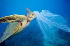Green sea turtle (Chelonia mydas) with a plastic bag, Moore Reef, Great Barrier Reef, Australia © WWF / Troy Mayne Ocean Pollution, Plastic Pollution, Endangered Sea Turtles, Save Our Oceans, 4 Oceans, Save Our Earth, Marine Conservation, Wildlife Conservation, Marine Life