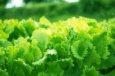 35 grönsaker och kryddor för skugga My Secret Garden, Growing Vegetables, Lettuce, Vegetable Garden, Berries, Fruit, World, Balcony Gardening, Gardens