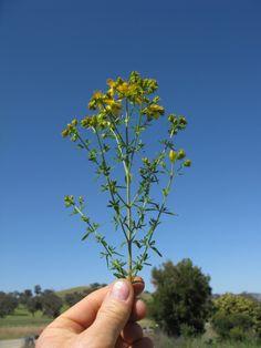 Das gelb blühende Johanniskraut ist einer der besten Speicher der Sonnenenergie. Sammle es im Sommer und nutze es im Winter, um die dunklen Tage aufzuhellen - Bild von Harry Rose [CC-BY-2.0]