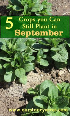 5 Crops you can still plant in September include Mache, lettuce, spinach, kale and claytonia. Plant these greens now for a harvest in late winter and spring