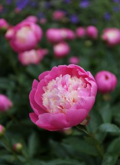 Tips For Gardening 5 Tips for Growing Peonies - Longfield Gardens - Peonies are one of America's best-loved perennials. If you're thinking about growing peonies, here are some tips to help ensure your success. Summer Flowers, Colorful Flowers, Plant Zones, Growing Peonies, Vintage Garden Decor, Peonies Garden, Beautiful Flowers Garden, How To Grow Taller, Lawn And Garden