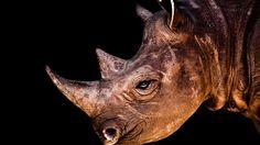 Rhinoceros Portrait Wallpaper