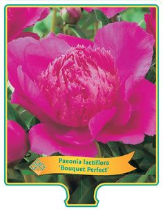 Paeonia 'Bouquet Perfect' kopen bij Tuincentrum Boskoops.nl - Online Tuincentrum