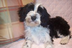 Our Dogs - Photo Gallery, Album Photo 10 Tibetan Terrier, Afghan Hound, Dog Photos, Terriers, Dog Breeds, Photo Galleries, Dog Cat, Album, Pets