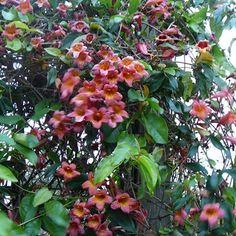 Crossvine 'Tangerine Beauty'