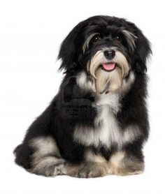 havanese puppy - very well groomed :)