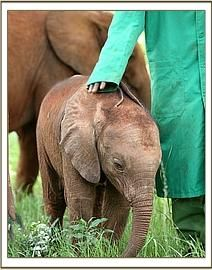The David Sheldrick Wildlife Trust in Kenya cares for orphaned elephants and rhinos
