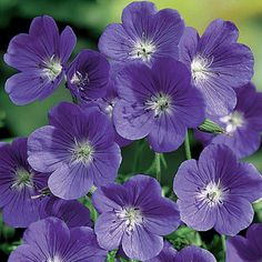 Geranium 'Brookside'  some geraniums are hardy and there are methods to keep them during the winter.  #annual #perennial #flower