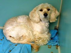 TO BE DESTROYED - 02/15/15 Manhattan Center My name is ABBY WAMBACH. My Animal ID # is A1027744. I am a female tan and brown eng cocker span and poodle min mix. The shelter thinks I am about 5 YEARS old. I came in the shelter as a OWNER SUR on 02/11/2015 from NY 10030, owner surrender reason stated was PERS PROB. ++SHE IS VERY SCARED+++