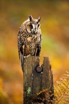 Sarvipöllö Beautiful Owl, Animals Beautiful, Birds Of Prey, Photography Photos, Bird Houses, Wildlife, Owls, Sketching, Finland