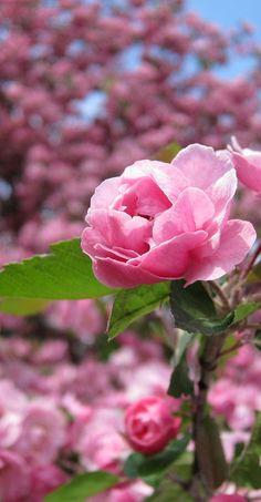 pink rose http://brilliantideasoldandnew.blogspot.com/