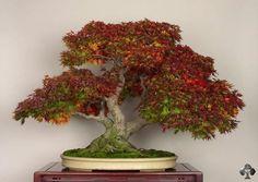 Ahorn-Bonsai von Michael