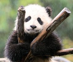Cute panda cub chilling in the rain.