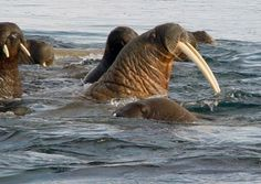 Животное морж