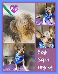 """SUPER URGENT. BENJI, AGE 12, LEFT AS A """"STRAY"""" NEEDS A SPECIAL PERSON THAT WILL…"""