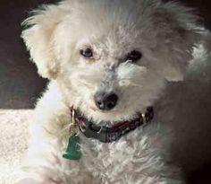 Bichon Frises - Bichon Frise Dogs -  Tessie by Mel Ontiveros