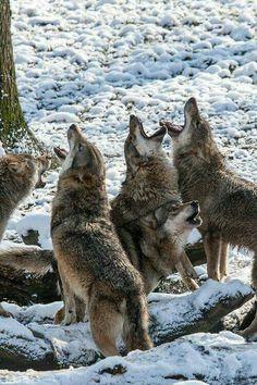 Lobos aullando en grupo salvaje.
