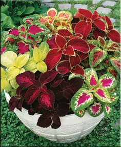 Seeds Coleus Bluma Flowers Mix Flowers for Planting Ukraine Shade Plants Container, Container Flowers, Flower Planters, Container Gardening, Gardening Tips, Gardening Books, Gardening Gloves, Garden Yard Ideas, Garden Projects