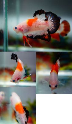 fwbettashmp1391071289 - ***KOI*** Betta Breeding, Beta Fish, Siamese Fighting Fish, Beautiful Fish, Freshwater Fish, Aquariums, Aquarium Fish, Goldfish, Fish Tank