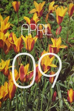 TULIPATulipType of bulb: True bulbSeason of bloom: SpringColors: Purple, red, pink, lavender, white, buff, cream, yellow, orange, bronze, mauve, maroon, multicolorsGrows to: 6 inches to over 3 feetWhen to plant: Autumn; winter in mildest regionsWhere to plant: Varies depending on size of bulbHardiness: To about -40°F/-40°C; almost all need some subfreezing winter temperaturesTo many people - especially those living in cold-winter regions - tulips and daffodils signify spring. But while…