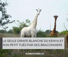 LA SEULE GIRAFE BLANCHE DU KENYA ET SON PETIT TUÉS PAR DES BRACONNIERS Kenya, News, Animals, Animales, Animaux, Animal, Animais