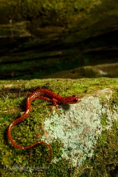 Cave Salamander by J.P. Lawrence Photography
