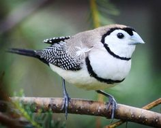 Strikingly black and white - Double - barred finch