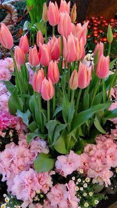Easter garden with Ballerina tulips Easter Garden, Tulips Garden, Planting Flowers, Spring Garden, My Flower, Beautiful Flowers, Pink Tulips, Tulips Flowers, Pink Carnations