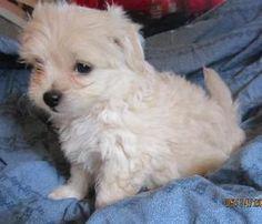 Eliza: Maltese, Dog; Redding, CA