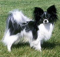 Black and White Papillon... I may have to wait until Bella dies... of old age, of course.