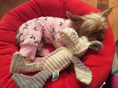 Morkie Bailey : tired from 2014 holidays.