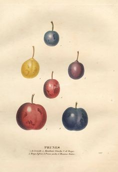 fruits-02799 - Plum, 4 [4100x6003]